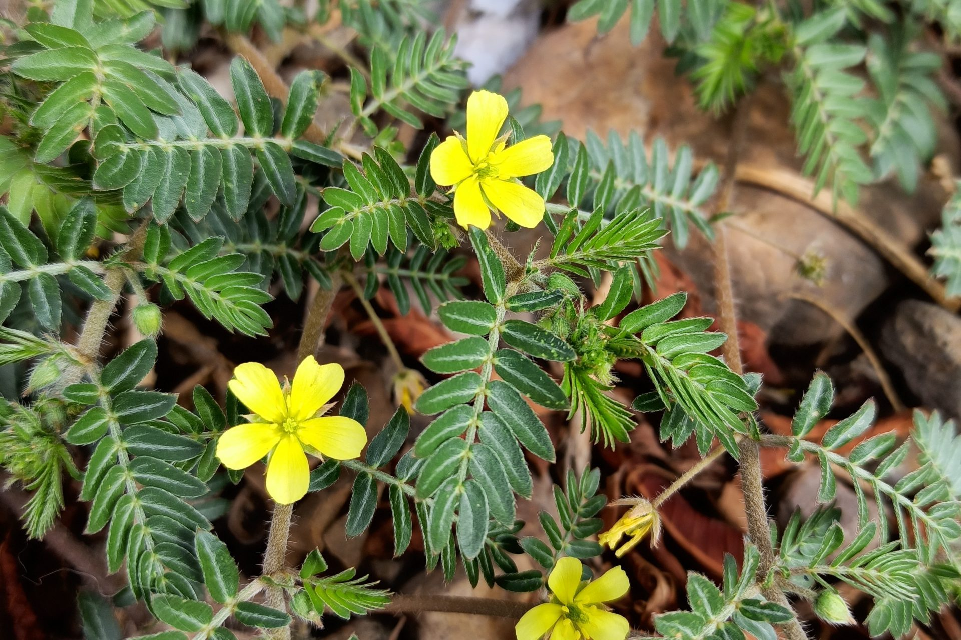 Tribulus_terrestris_(Family_Zygophyllaceae)